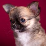 щенок чихуахуа длинношерстный