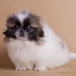 pekineze_puppy1_271011