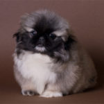 pekineze_puppy2_271011