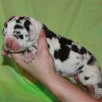germ_dog_pups1